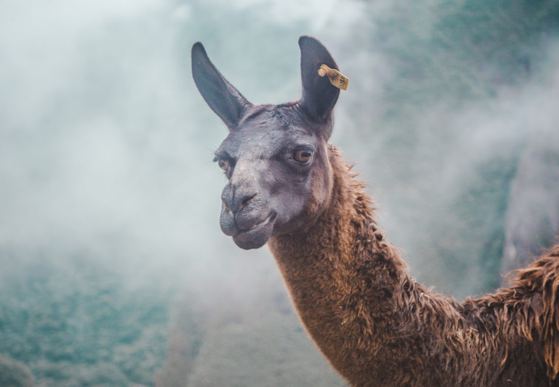 If we only had 2 weeks: Peru Itinerary | Guanaco llama alpaca at Machu Picchu | Peru Travel Guide by Cuppa to Copa Travels